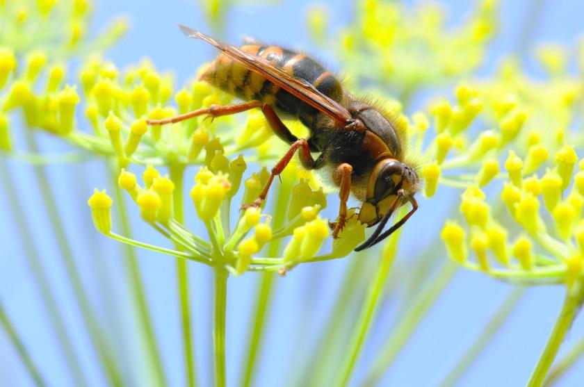vespa-crabro-foto-flickr-1_orig