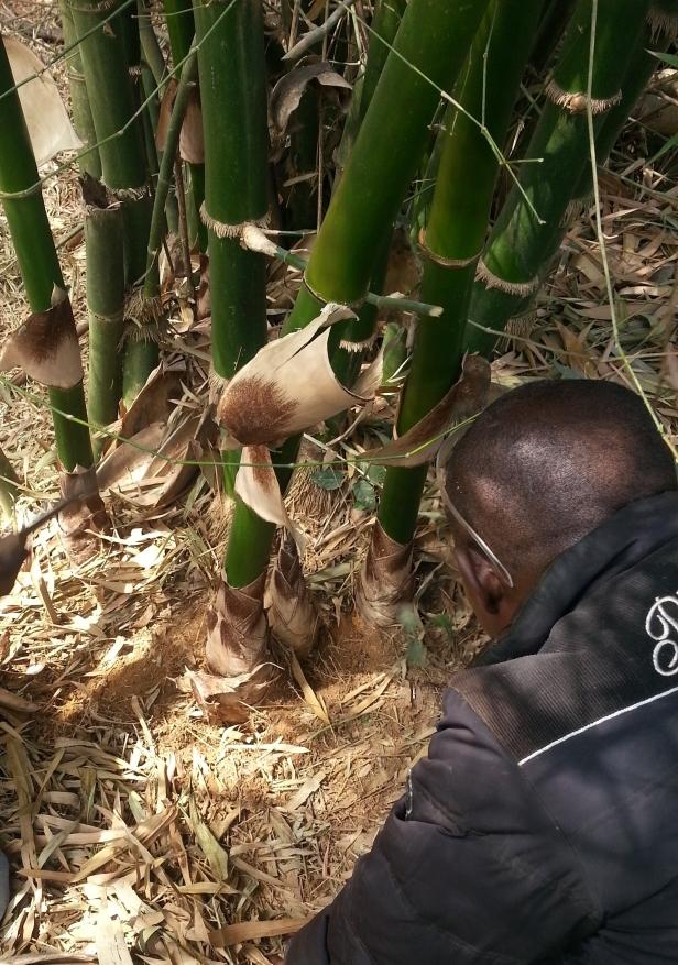 bambu ghana germoglio febbraio 2016